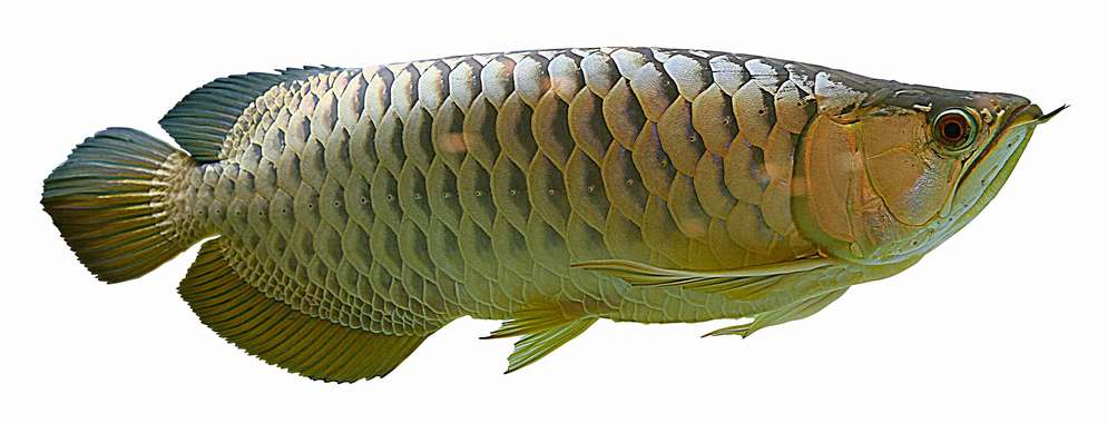Arowana leaf for Dragon fish for sale