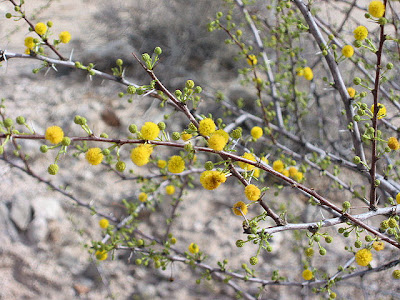 Desert packrat acacia wondering when these bushes 10 to 15 feet blossom they are covered with small yellow ball flowers that are as mightylinksfo