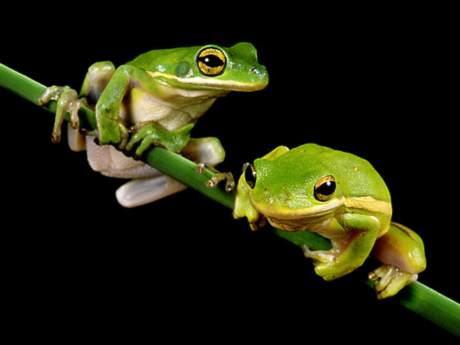 Omurgalılar şubesi kurbağalar sınıfı