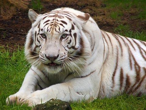FATIM (music + tourism): WHITE TIGER.....my favourite ...