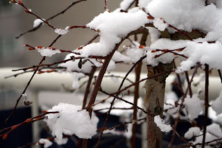 snow on weeping willow
