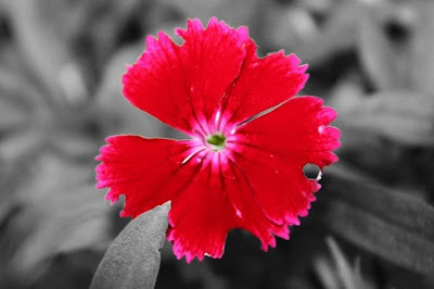 bright pink flower on a black and white background