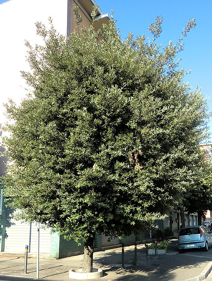 Hortus italicus quercus ilex l 1753 for Quercia sempreverde