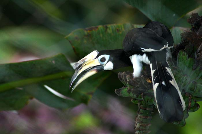 Pied Hornbill - my backyard 2007