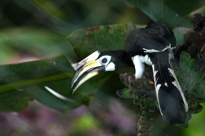 Pied Hornbill - my backyard 2007