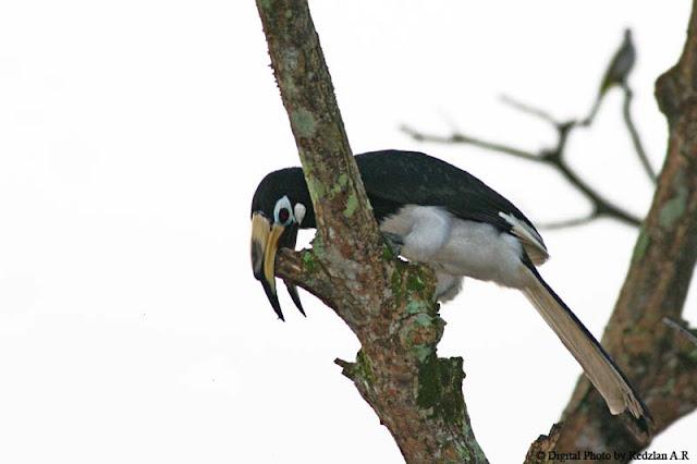 Pied Hornbill - my backyard 2008