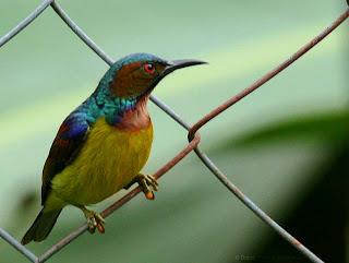 Sunbird and Raub Malaysia