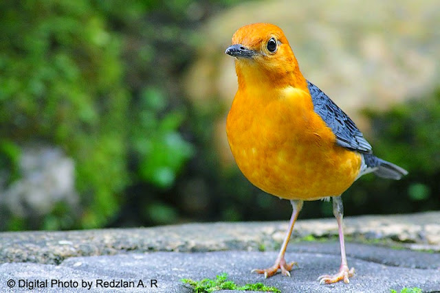 Orange-Headed Thrush - Wound healed