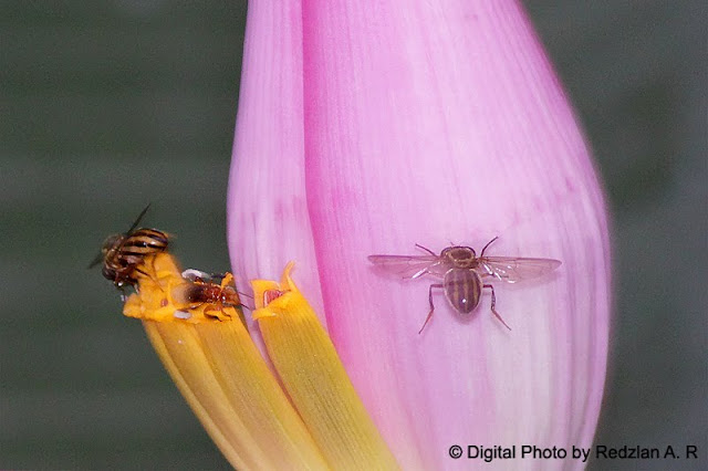 Insects on Banana Flowers
