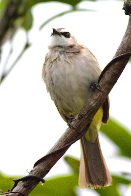 Yellow-vented Bulbul (Pycnonotus goaivier)