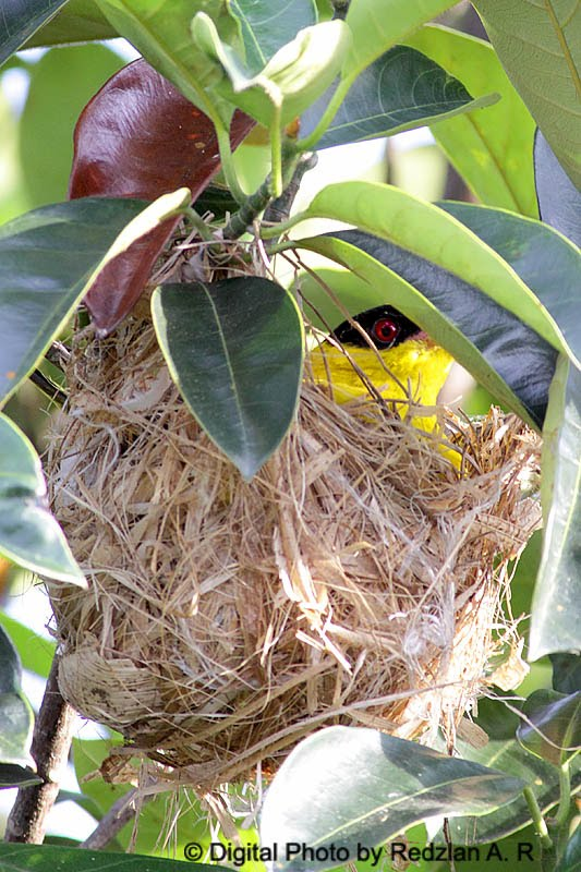 Black-naped Oriole's Nest
