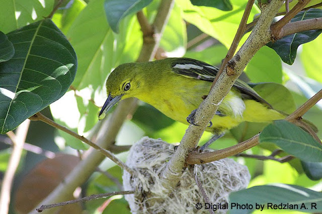 Female Common Iora with Food