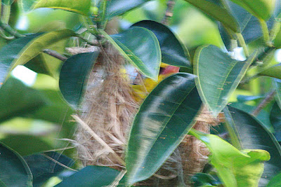 Oriole Nest