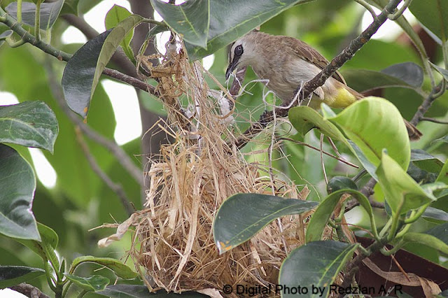 Bulbul taking the nest material from old nest
