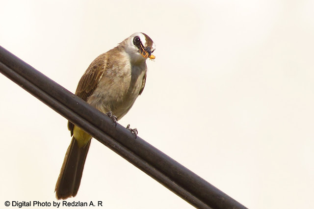 Yellow-vented Bulbul and insect