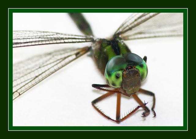 Dragonfly head anatomy