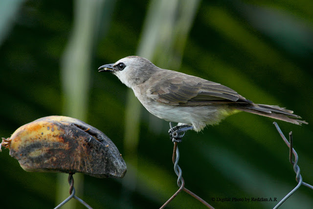 Yellow-vented Bulbul eating Banana