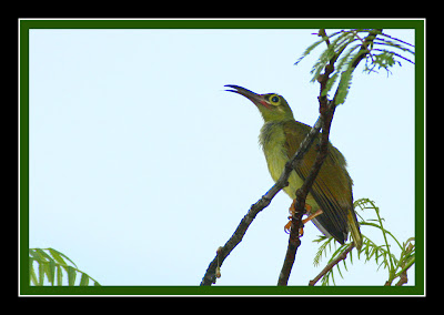 Spectacled Spiderhunter at Petai tree Spectacled Spiderhunter at Petai tree