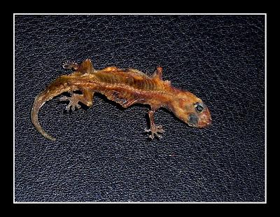 Dried Dead Lizard