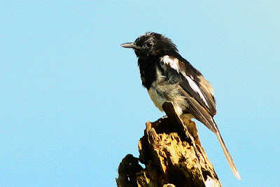 Fledgling Oriental Magpie Robin
