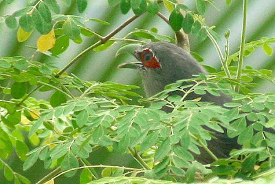 Green-billed Malkoha (Phaenicophaeus tristis)at Moringa Oleifera tree