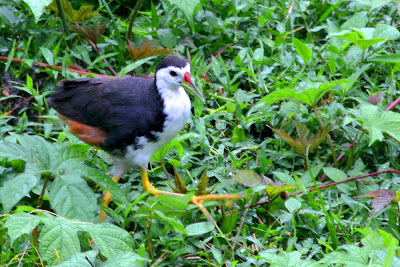 White-breated Waterhen at my backyard in Raub Malaysia