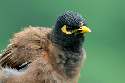 Juvenile Common Myna after the rain at backyard in Raub Malaysia