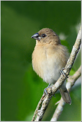 Juvenile Scaly-breasted Munia