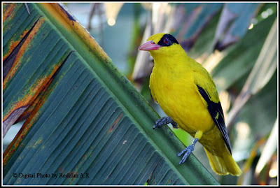 Black-naped Oriole at Banana leave in Raub Malaysia