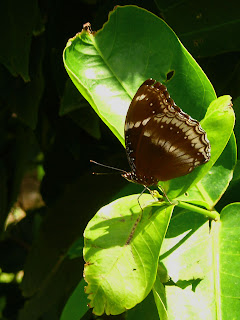 Male Blue Moon Butterfly on the jambu leaf