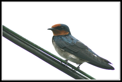 Burung Layang-layang Pacific Swallow