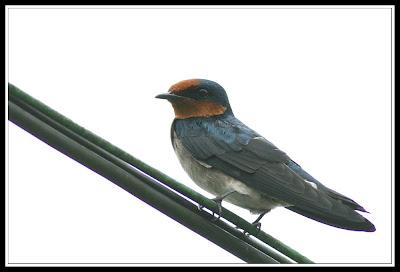Burung Layang-layang Pacific Swallow