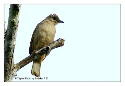 Olive-winged Bulbul (Pycnonotus plumosus)