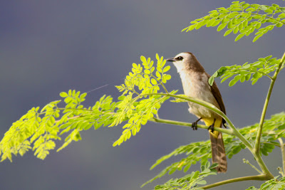 Yellow-vented Bulbul