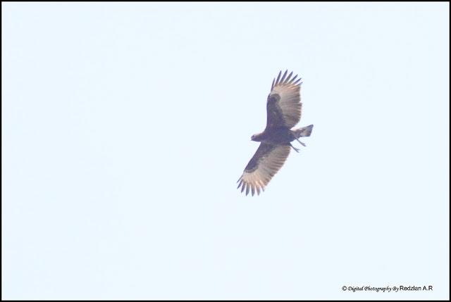 Oriental Honey-buzzard (Pernis ptilorhyncus)