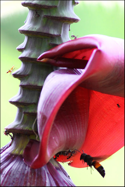 insects at Banana Flower