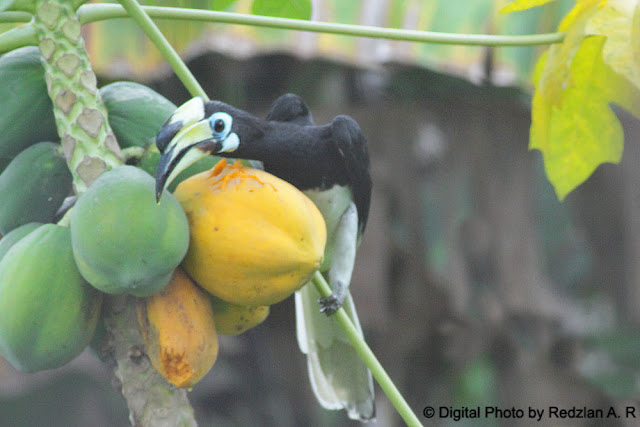 Pied Hornbill - my backyard 2010