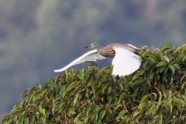 Pond Heron noise filtered image
