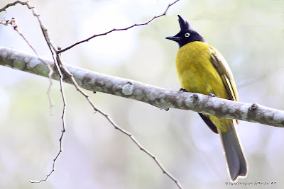 Black-crested Bulbul (Pycnonotus melanicterus)