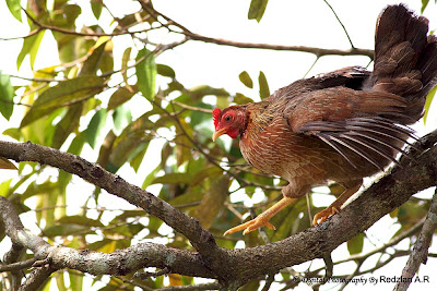 Hen on Durian Tree