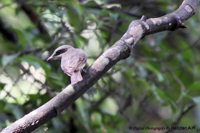 Wood Shrike