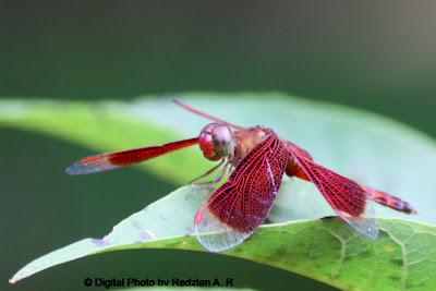 Dragonfly Pepatong