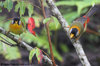 Silver-eared Mesia Behavior