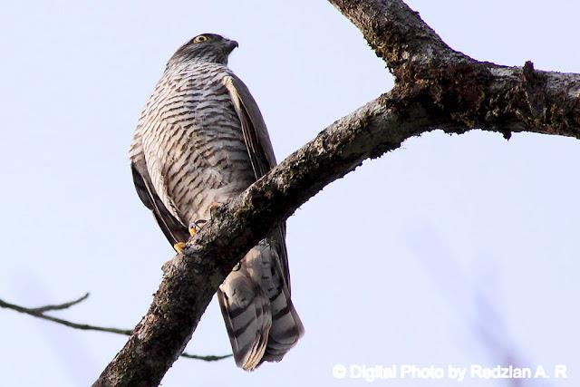 Juvenile Eurasian/Northern Sparrowhawk (Accipiter nisus)