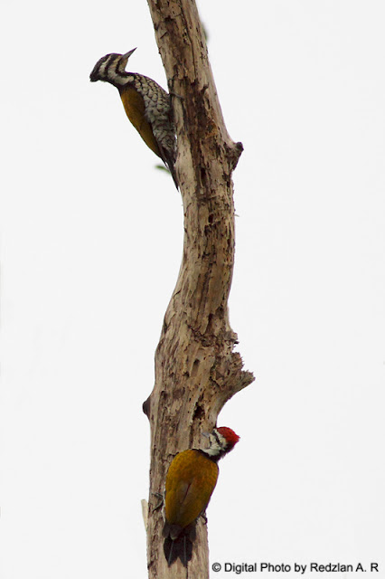 a pair of woodpecker