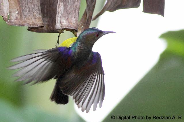 Brown-throated Sunbird - (Kelicap Mayang Kelapa)