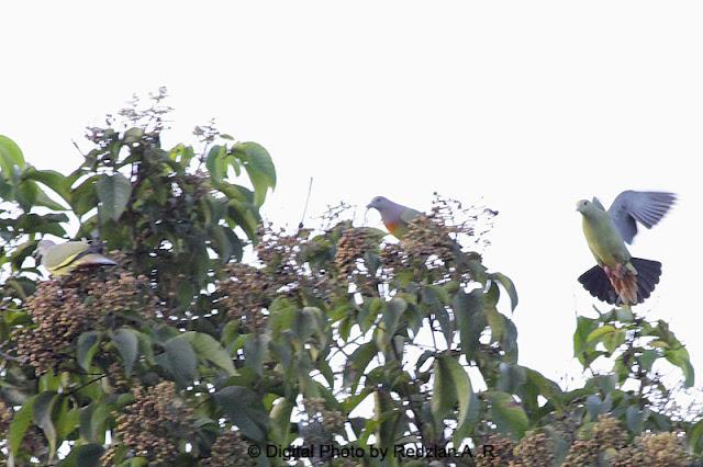 3 ekor Burung Punai