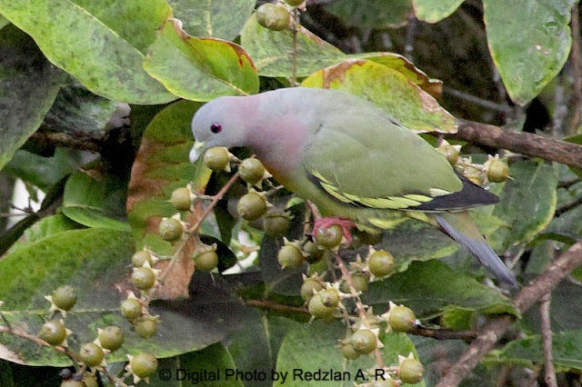 Male Pink-necked Green Pigeon at MS Garden Hotel Kuantan