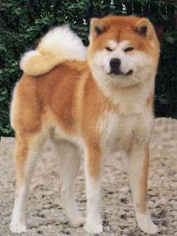 Akita Inu Top Large Dog