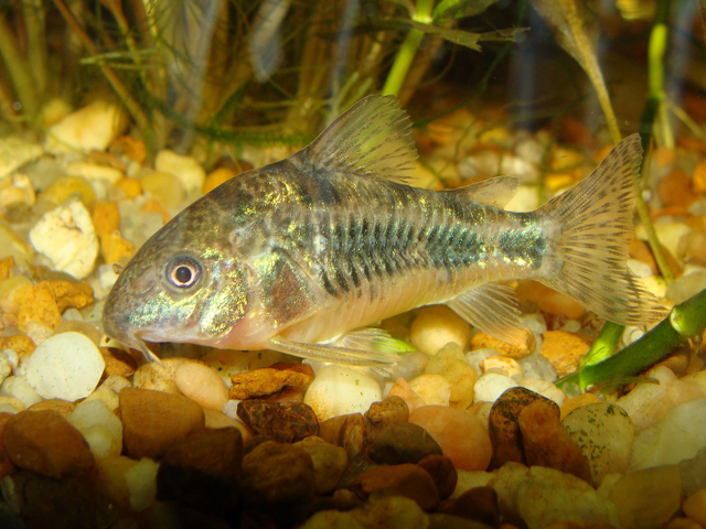 Pets For You Best Pet Paleatus The Freshwater Fish